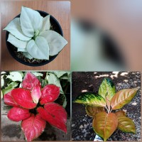 paket 3 jenis aglonema super white sultan brunai red anjamani
