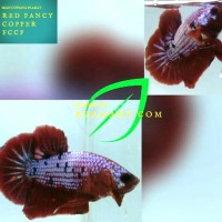 Ikan Cupang Red Fancy Copper/FCCP
