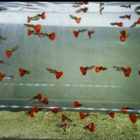 ikan hias guppy