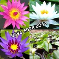 PAKET 3 POHON tanaman teratai | bunga teratai | tanaman air