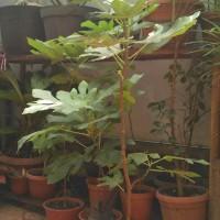 pohon / bibit tanaman buah Tin ( ARA ) hijau