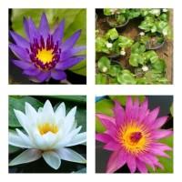Tanaman teratai air - bunga teratai mini