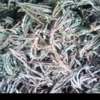 jual daun putri malu kering 100gr-obat paru-paru/herbal