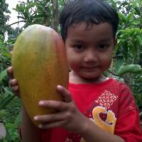 bibit mangga kiojay / bibit buah / tanaman