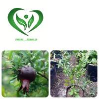 bibit tanaman delima hitam pohon delima