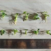 tanaman aquascape anubias petite