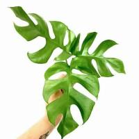tanaman hias hidup tanaman indoor MONSTERA RAPIDOPHORA