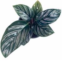tanaman hias hidup tanaman indoor chalathea ornata
