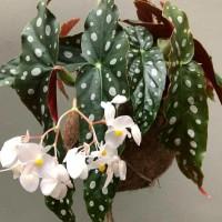 tanaman hias hidup tanaman indoor begonia polkadot