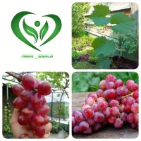 bibit tanaman anggur merah pohon anggur