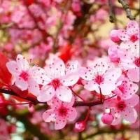 Bibit bunga sakura pink super unggul