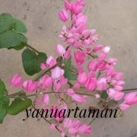 bibit tanaman hias air mata pengantin - pohon bunga air mata pengantin