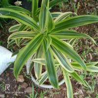 tanaman hias srirejeki varigata,pohon srirejeki varigata