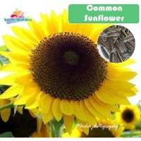 Bibit Benih Common Sunflower kuaci kwaci bunga matahari seeds ecer