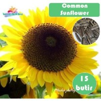 Bibit Benih Biji Common Sunflower kuaci kwaci bunga matahari seeds