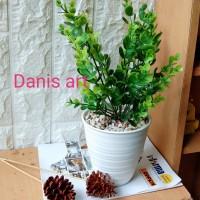 Tanaman kayu putih/ ekaliptus palsu/tanaman hias/ kayu putih pladtik