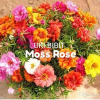 ( 10 Butir ) Benih Bunga Pukul 9 / Moss Rose Double Mix / Krokot