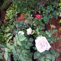 Jual tanaman hias bunga mawar - bibit bunga mawar - Tanaman hias