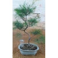 Tanaman Cemara udang bahan bonsai