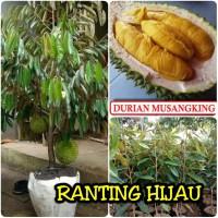 bibit buah durian musangking_musang king_asli_bibit super_RHN