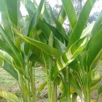 Tanaman Hias Pisang Heliconia Varigata