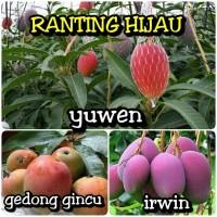 paket 3 jenis bibit buah mangga Irwin,gedong gincu,Yuwen super