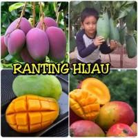 Paket 4 jenis bibit buah mangga mahatir,Indramayu, gedong gincu,Irwin