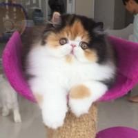 Info Kucing Persia Pesek Katalog.or.id
