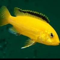 Ikan Hias Cichild Lemon Yellow LAB Aquarium Aquascape Garansi