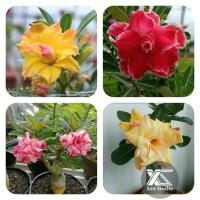 Paket 4 Tanaman Hias Adenium Bunga Tumpuk-Kamboja Jepang BungaTumpuk