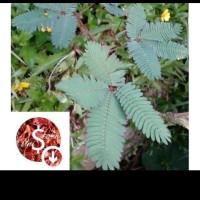 jual pohon putri malu- obat herbal bronkhitis