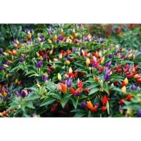 Benih / Seeds Bolivian Rainbow Pepper - Cabe Unik Pelangi