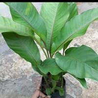 tanaman hias heliconia pisang bali/pisang betet mini
