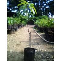 Fresh Bibit Mangga Golek India Okulasi Buah Super Besar Tinggi 1 Meter