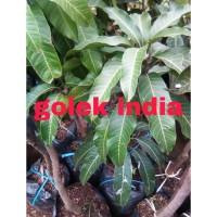 Fresh Bibit Mangga Golek India Okulasi Buah Super Besar Dan Batang