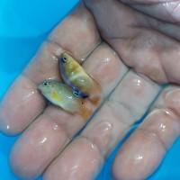 Ikan Hias Laut Betok Strip Biru