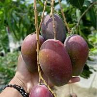 Bibit buah mangga irwin okulasi sangat cepat berbuah