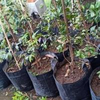 Bibit Pohon Buah Anggur Batang Jenis Preco Sambung Susu QQxFVS1311