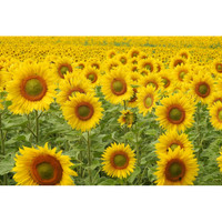 Benih Bunga Matahari Kuning- 5 Biji - Kebun Rumah