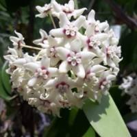 tanaman hias hoya bunga putih iner red