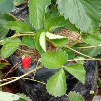 Benih Pohon Strawberry Size Besar