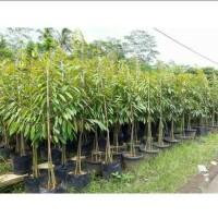 Bibit pohon durian kaki tiga musangking/bawor/montong