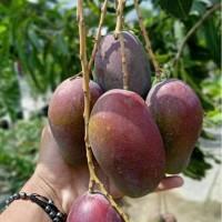 Bibit buah mangga irwin okulasi / cangkok sangat cepat berbuah