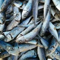 ikan asin dencis khas samosir medan sumatera utara enak murah lauk