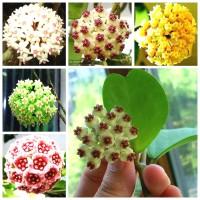 PROMO Egrow 20Pcs/Pack Hoya Seeds Potted Seed Hoya Carnosa Flower