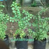 bibit pohon SIDR atau POHON BIDARA ARAB