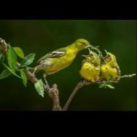 Burung lolohan Cipoh/Cipow/Sirtu