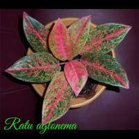tanaman hias aglonema happines - bibit bunga aglonema happines
