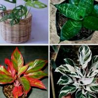 Paket murah 4 pohon tanaman hias indoor / Tanaman indor