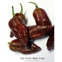 10 Biji Benih Cabe Big Black Mama Cabe Coklat Cabe Super Pedas